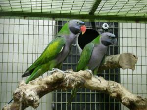 Psittacula_derbiana_(pair)_-captive-8a